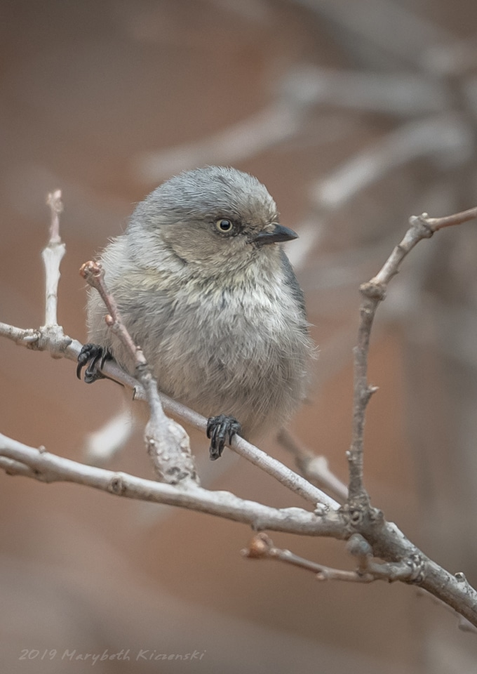 2019 Copyright MaryBeth Kiczenski. Female Bushtit perching.  The eye color helps differentiate between the sexes.  Males have darker eyes.
