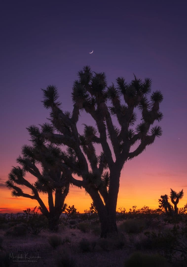 Joshua Trees under the Cresent Moon.  Single Shot.  Nikon Z6 - Nikkor 70-200mm. Copyright 2020 MaryBeth Kiczenski.