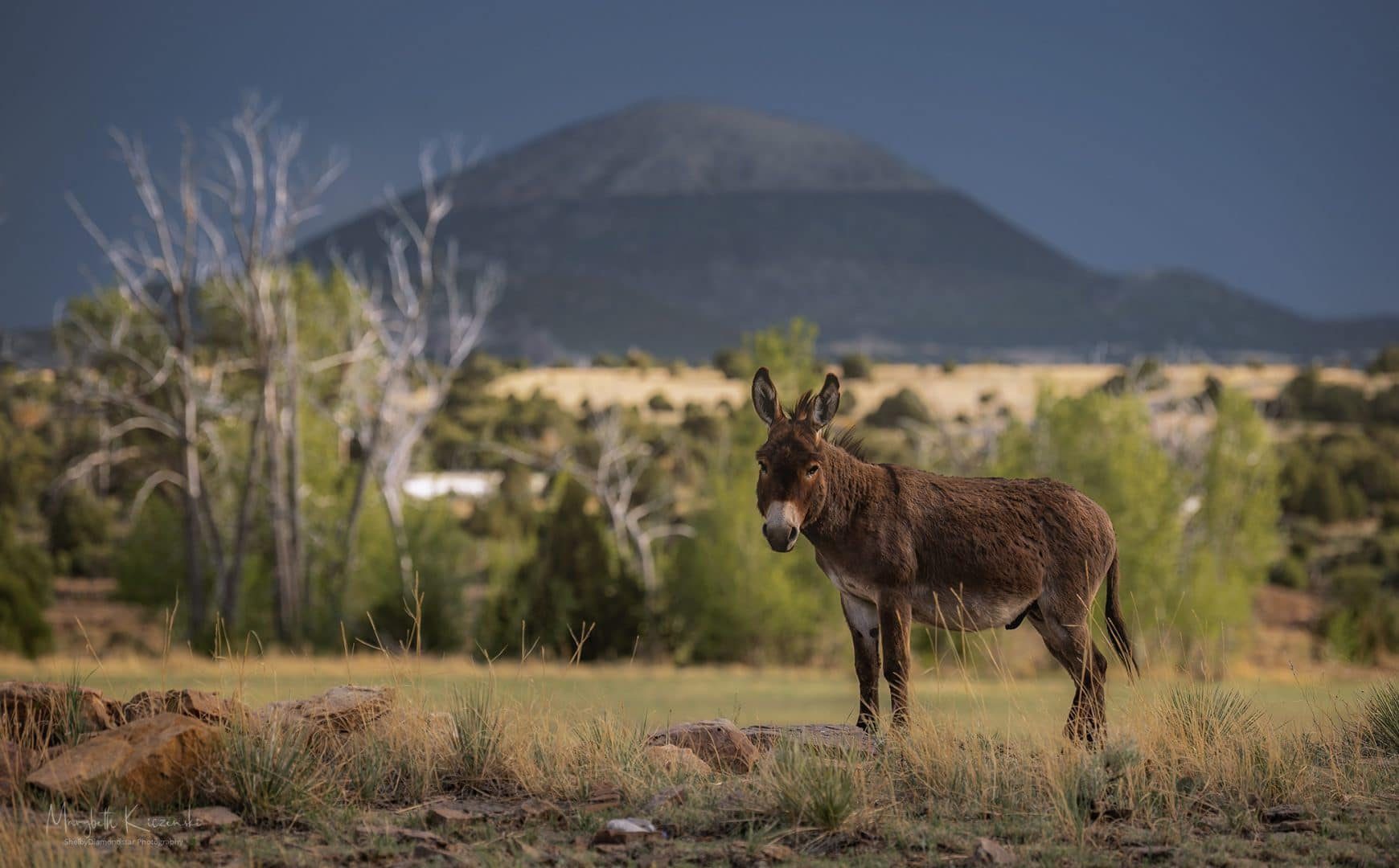 Donkey with Capulin Volcano looming in the background.  Nikon Z6 - Nikkor 70-200mm. Copyright 2020 MaryBeth Kiczenski.